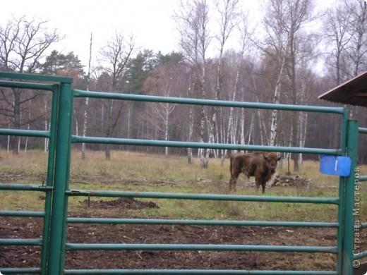 Вчера (29 октября)у нас была экскурсия на страусиную ферму,а потом мы переехали в заповедную зону где занимаются разведением зубров.Это всё находится около г.Чехов и Серпухов фото 18