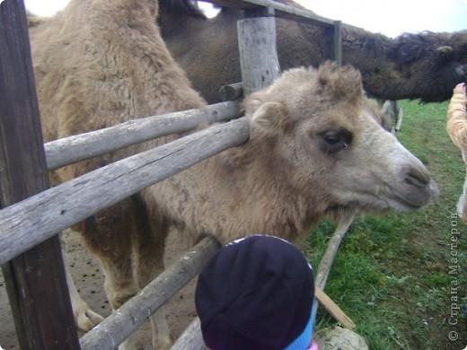 Вчера (29 октября)у нас была экскурсия на страусиную ферму,а потом мы переехали в заповедную зону где занимаются разведением зубров.Это всё находится около г.Чехов и Серпухов фото 10