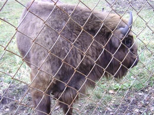 Вчера (29 октября)у нас была экскурсия на страусиную ферму,а потом мы переехали в заповедную зону где занимаются разведением зубров.Это всё находится около г.Чехов и Серпухов фото 21