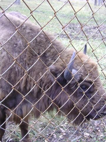 Вчера (29 октября)у нас была экскурсия на страусиную ферму,а потом мы переехали в заповедную зону где занимаются разведением зубров.Это всё находится около г.Чехов и Серпухов фото 20