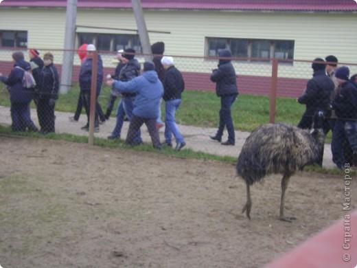 Вчера (29 октября)у нас была экскурсия на страусиную ферму,а потом мы переехали в заповедную зону где занимаются разведением зубров.Это всё находится около г.Чехов и Серпухов фото 6