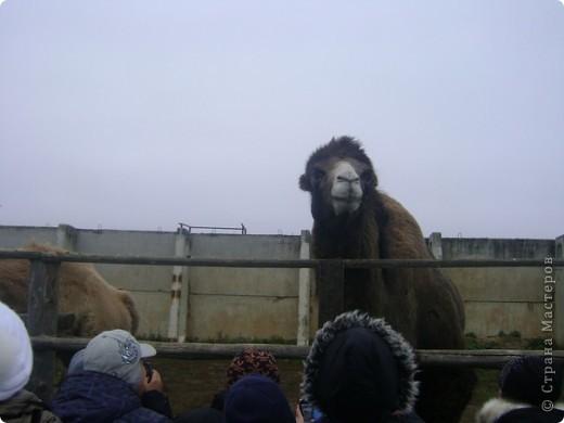 Вчера (29 октября)у нас была экскурсия на страусиную ферму,а потом мы переехали в заповедную зону где занимаются разведением зубров.Это всё находится около г.Чехов и Серпухов фото 16