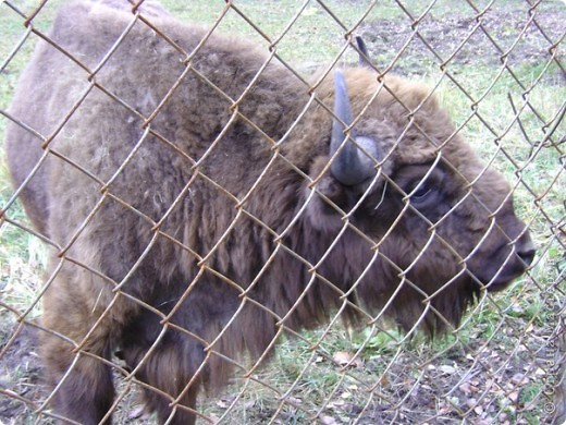 Вчера (29 октября)у нас была экскурсия на страусиную ферму,а потом мы переехали в заповедную зону где занимаются разведением зубров.Это всё находится около г.Чехов и Серпухов фото 24