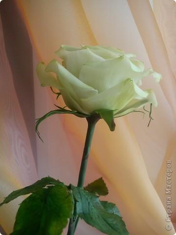 Вот она-моя первая роза!Еще масло на листьях не просохло,а я уже ее фотографировать!))))) фото 6