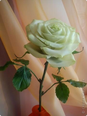 Вот она-моя первая роза!Еще масло на листьях не просохло,а я уже ее фотографировать!))))) фото 7