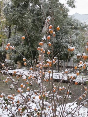 Хурма поспела!!! Когда наступают первые морозы и выпадает снег, то листья с хурмы опадают и  дерево стоит все усыпанное яркими оранжевыми плодами, пока их не сорвут.