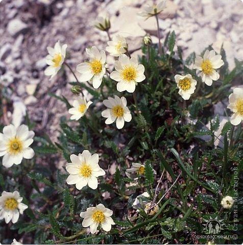 Дорогие,ДЕВОЧКИ,мне очень приятно всегда читать комментарии к моим цветам...Сегодня хочу поделиться с вами красотой других цветов-цветов,которые палит и ласкает солнце,среди июля засыпает снегом....цветов,запах которых неповторим.А с их жизненными силами не сравнится не один садовый цветок.И так приглашаю ВАС в горы...  фото 7