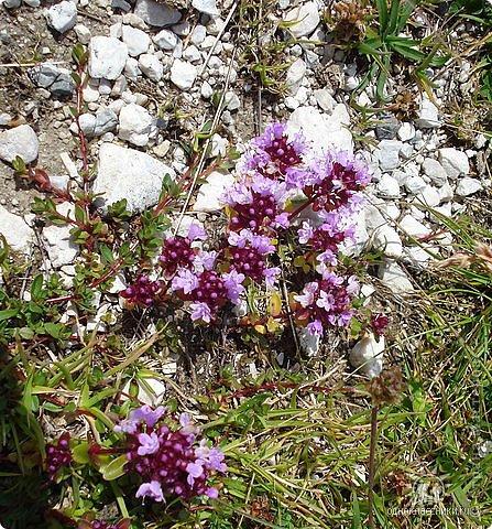 Дорогие,ДЕВОЧКИ,мне очень приятно всегда читать комментарии к моим цветам...Сегодня хочу поделиться с вами красотой других цветов-цветов,которые палит и ласкает солнце,среди июля засыпает снегом....цветов,запах которых неповторим.А с их жизненными силами не сравнится не один садовый цветок.И так приглашаю ВАС в горы...  фото 2