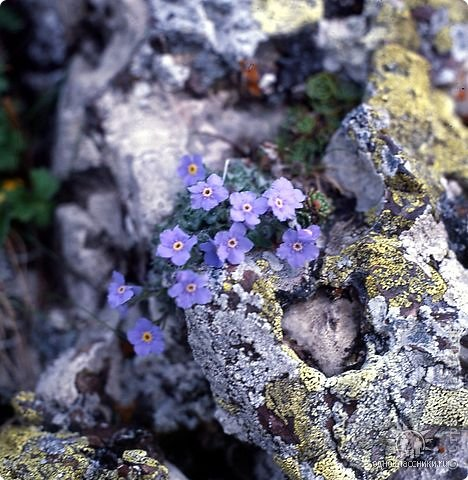 Дорогие,ДЕВОЧКИ,мне очень приятно всегда читать комментарии к моим цветам...Сегодня хочу поделиться с вами красотой других цветов-цветов,которые палит и ласкает солнце,среди июля засыпает снегом....цветов,запах которых неповторим.А с их жизненными силами не сравнится не один садовый цветок.И так приглашаю ВАС в горы...  фото 4