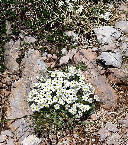 Дорогие,ДЕВОЧКИ,мне очень приятно всегда читать комментарии к моим цветам...Сегодня хочу поделиться с вами красотой других цветов-цветов,которые палит и ласкает солнце,среди июля засыпает снегом....цветов,запах которых неповторим.А с их жизненными силами не сравнится не один садовый цветок.И так приглашаю ВАС в горы...  фото 9
