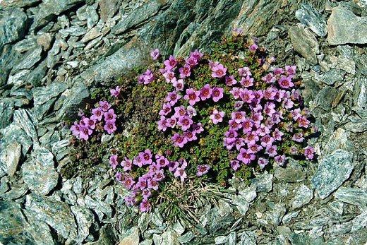 Дорогие,ДЕВОЧКИ,мне очень приятно всегда читать комментарии к моим цветам...Сегодня хочу поделиться с вами красотой других цветов-цветов,которые палит и ласкает солнце,среди июля засыпает снегом....цветов,запах которых неповторим.А с их жизненными силами не сравнится не один садовый цветок.И так приглашаю ВАС в горы...  фото 8