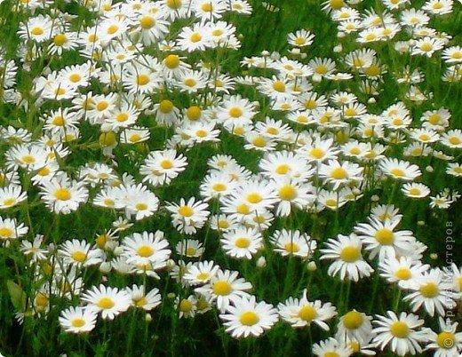 Дорогие,ДЕВОЧКИ,мне очень приятно всегда читать комментарии к моим цветам...Сегодня хочу поделиться с вами красотой других цветов-цветов,которые палит и ласкает солнце,среди июля засыпает снегом....цветов,запах которых неповторим.А с их жизненными силами не сравнится не один садовый цветок.И так приглашаю ВАС в горы...  фото 6