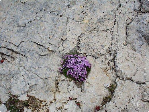 Дорогие,ДЕВОЧКИ,мне очень приятно всегда читать комментарии к моим цветам...Сегодня хочу поделиться с вами красотой других цветов-цветов,которые палит и ласкает солнце,среди июля засыпает снегом....цветов,запах которых неповторим.А с их жизненными силами не сравнится не один садовый цветок.И так приглашаю ВАС в горы...  фото 5