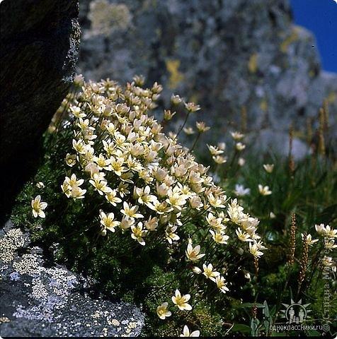 Дорогие,ДЕВОЧКИ,мне очень приятно всегда читать комментарии к моим цветам...Сегодня хочу поделиться с вами красотой других цветов-цветов,которые палит и ласкает солнце,среди июля засыпает снегом....цветов,запах которых неповторим.А с их жизненными силами не сравнится не один садовый цветок.И так приглашаю ВАС в горы...  фото 10