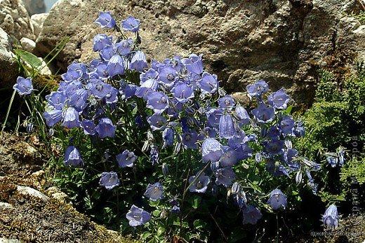 Дорогие,ДЕВОЧКИ,мне очень приятно всегда читать комментарии к моим цветам...Сегодня хочу поделиться с вами красотой других цветов-цветов,которые палит и ласкает солнце,среди июля засыпает снегом....цветов,запах которых неповторим.А с их жизненными силами не сравнится не один садовый цветок.И так приглашаю ВАС в горы...  фото 3