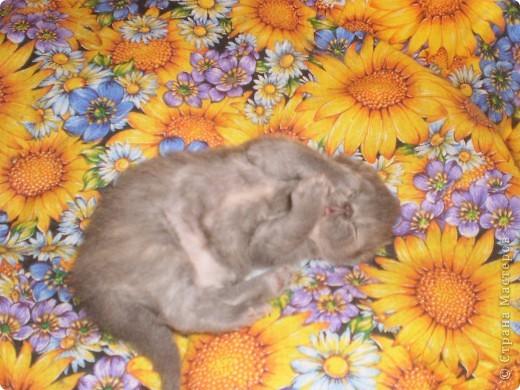 Любимица всей нашей семьи - персидская кошка Мася. Ей 1г.9мес. фото 10