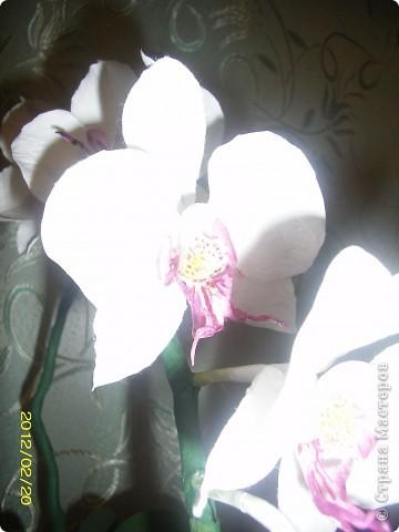 Орхидея фаленопсис фото 2
