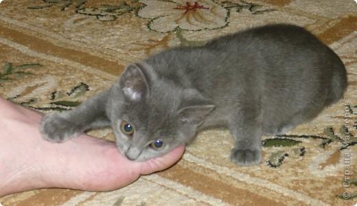 """Хочу познакомить вас с нашим котом Кузьмой. Это история небольшая, всего 2-летней жизни. До него у нас был кот Василий. Англичанин с русским именем. Заболел, умер. Переживали с мужем, как по члену семьи. В школе девочка из неблагополучной семьи предложила котенка. Я сказала: """"Если серый -- приноси"""". Как увидела, что серый, даже не рассматривая увезла домой. фото 5"""