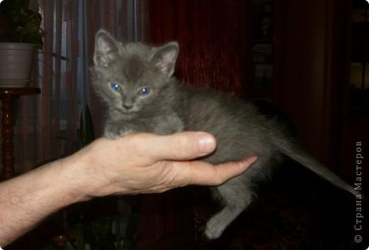 """Хочу познакомить вас с нашим котом Кузьмой. Это история небольшая, всего 2-летней жизни. До него у нас был кот Василий. Англичанин с русским именем. Заболел, умер. Переживали с мужем, как по члену семьи. В школе девочка из неблагополучной семьи предложила котенка. Я сказала: """"Если серый -- приноси"""". Как увидела, что серый, даже не рассматривая увезла домой. фото 2"""