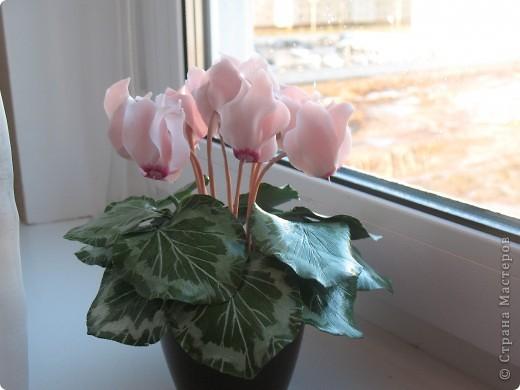 Цикламен розовый фото 3