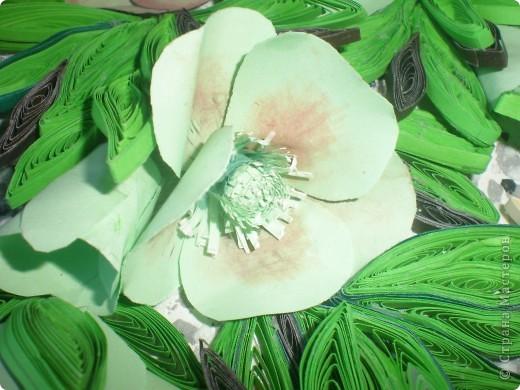 Многие вспомнят те времена, когда к 8 Марта привозились эти цветы к нам.Среди веточек мимозы они притягивали как магнит.Очень приятно было среди зимы держать в ладонях непонятное чудо такое. фото 4