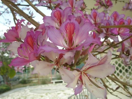 Прошлогодние весенние..Сочная зелени, нежное розовое персикового дерева и яркая фуксия букенвилии. фото 5