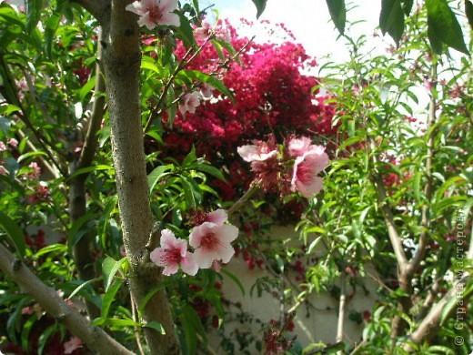 Прошлогодние весенние..Сочная зелени, нежное розовое персикового дерева и яркая фуксия букенвилии. фото 1