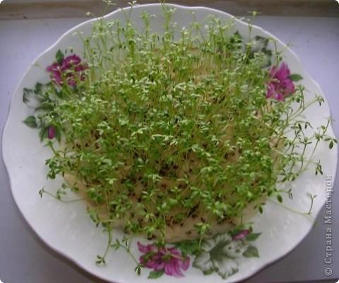 Так хочется весны... Такие тарелочки с проростками салатов всю зиму живут на моём окне. фото 2