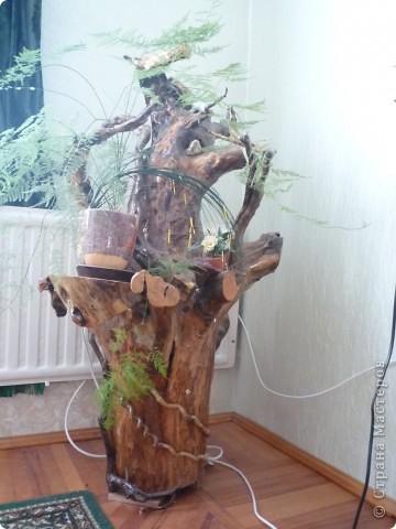 Высушенный и обработанный корень многолетнего дерева. фото 4