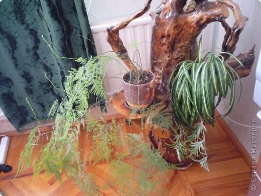 Высушенный и обработанный корень многолетнего дерева. фото 15