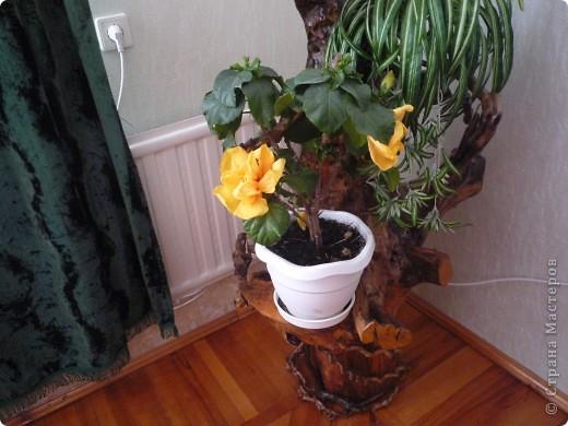 Высушенный и обработанный корень многолетнего дерева. фото 14