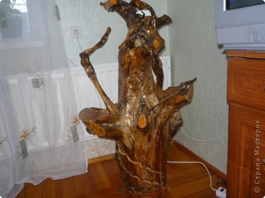 Высушенный и обработанный корень многолетнего дерева. фото 3