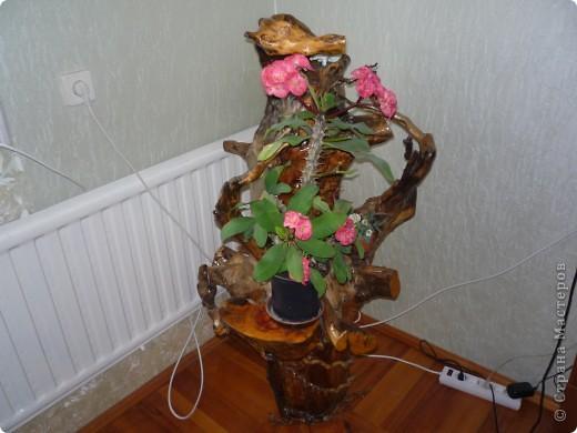 Высушенный и обработанный корень многолетнего дерева. фото 18