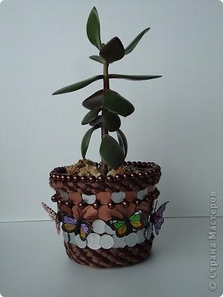 Весна!!! Пора пересаживать домашние цветочки. Вот мое  денежное дерево. Пока маленькое, но любимое. А для любимого цветочка надо бы сделать красивое кашпо.  фото 1