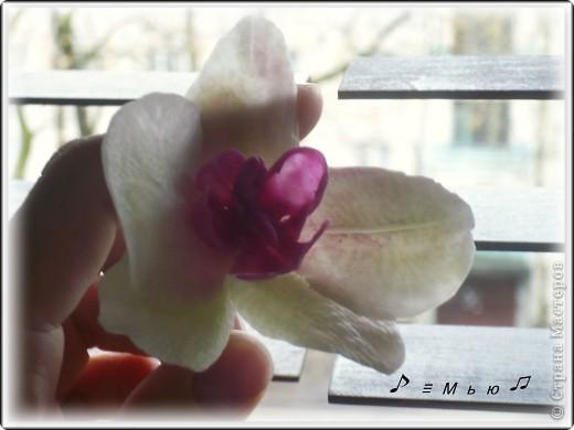 Все жду не дождусь появления молдов, но охота пуще неволи, как говорится, пока вот такая гибридная орхидея вышла... фото 4