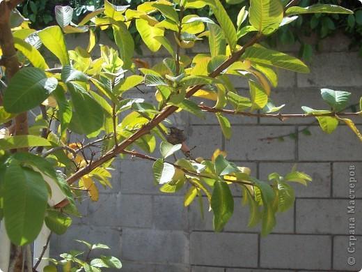Колибри свила гнездо у нас в саду на гуаве. фото 1