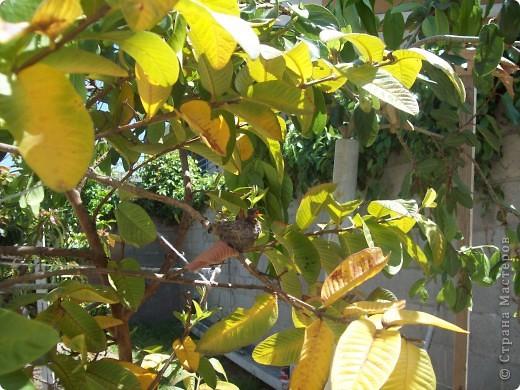 Колибри свила гнездо у нас в саду на гуаве. фото 4