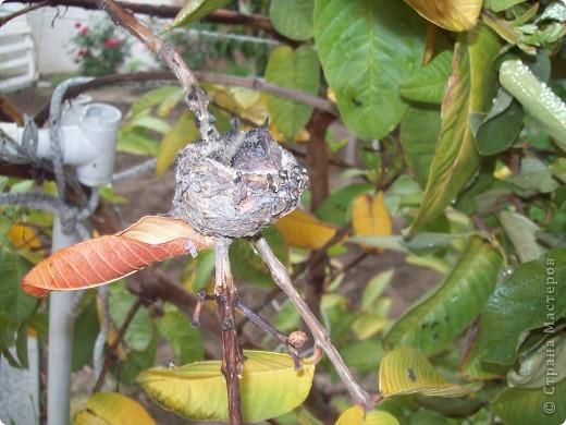 Колибри свила гнездо у нас в саду на гуаве. фото 5