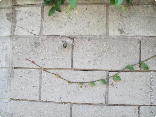 Колибри свила гнездо у нас в саду на гуаве. фото 6