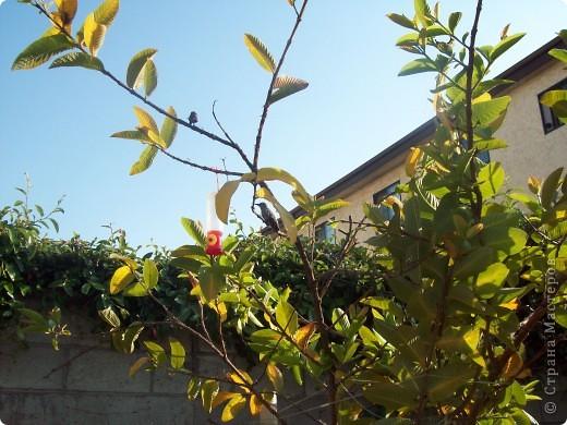 Колибри свила гнездо у нас в саду на гуаве. фото 7