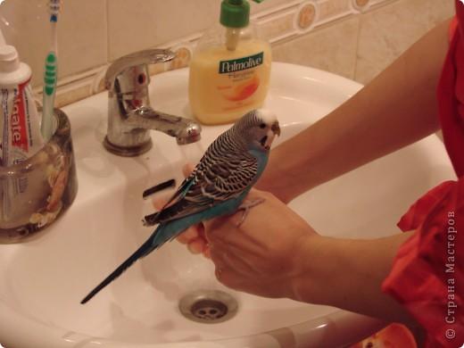 """Принимаем участие в проэкте """"Птица счастья"""". Давайте знакомиться : Я-Наташа, а нашу """"птицу счастья"""" зовут Кирюша(или, как он часто себя называет - Чичикуньчик). Кирюшику уже почти 3 года, он у нас общительная, веселая, птичка. Говорит порядка 40 слов (уже сбились со счета), это не считая звуков, которые он разучивает сам, например зимой муж немножко простыл, муж-то, слава Богу, выздоровел, а вот Кирюша """"кашляет"""" до сих пор ))). Мы с мужем обожаем его и он отвечает нам тем же. Попугайчик наш никогда не закрывается, т.е. залетает в клетку и вылетает когда ему угодно, а почему-бы и нет, решили мы, кошки у нас нет, на окнах сетки. По-первой, конечно, засыпал где прийдется и его приходилось относить в клеточку, а потом стали замечать, что он сам, как курченок, темнеет-надо в клеточку, вот так. фото 5"""