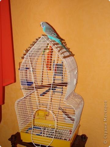 """Принимаем участие в проэкте """"Птица счастья"""". Давайте знакомиться : Я-Наташа, а нашу """"птицу счастья"""" зовут Кирюша(или, как он часто себя называет - Чичикуньчик). Кирюшику уже почти 3 года, он у нас общительная, веселая, птичка. Говорит порядка 40 слов (уже сбились со счета), это не считая звуков, которые он разучивает сам, например зимой муж немножко простыл, муж-то, слава Богу, выздоровел, а вот Кирюша """"кашляет"""" до сих пор ))). Мы с мужем обожаем его и он отвечает нам тем же. Попугайчик наш никогда не закрывается, т.е. залетает в клетку и вылетает когда ему угодно, а почему-бы и нет, решили мы, кошки у нас нет, на окнах сетки. По-первой, конечно, засыпал где прийдется и его приходилось относить в клеточку, а потом стали замечать, что он сам, как курченок, темнеет-надо в клеточку, вот так. фото 13"""
