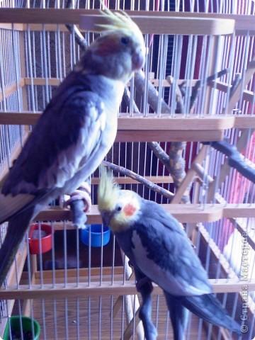 Мы решили тоже поучаствовать в конкурсе Юли и Миши. Сейчас у нас птичек дома нет, а когда-то жили и очень любили фото 11