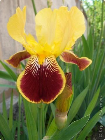 Очень люблю цветы.Разные.Хочу поделиться с вами  красотой ирисов.Приглашаю вас в свой сад. фото 6