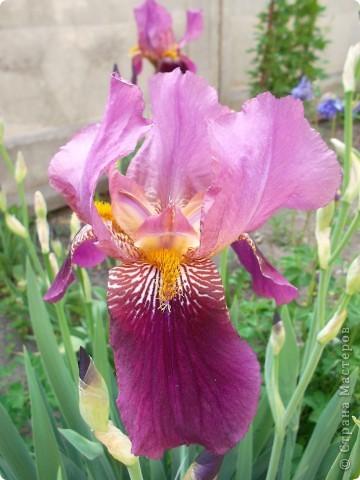 Очень люблю цветы.Разные.Хочу поделиться с вами  красотой ирисов.Приглашаю вас в свой сад. фото 5