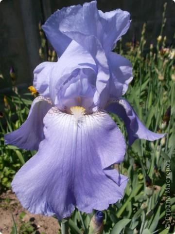 Очень люблю цветы.Разные.Хочу поделиться с вами  красотой ирисов.Приглашаю вас в свой сад. фото 1