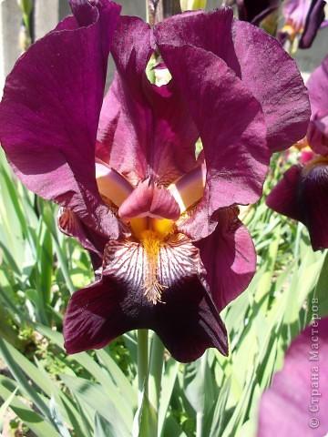 Очень люблю цветы.Разные.Хочу поделиться с вами  красотой ирисов.Приглашаю вас в свой сад. фото 3