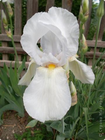 Очень люблю цветы.Разные.Хочу поделиться с вами  красотой ирисов.Приглашаю вас в свой сад. фото 7