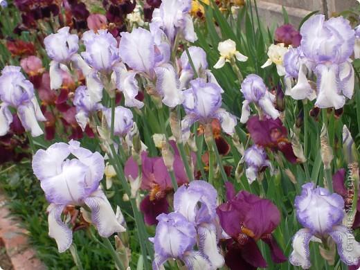 Очень люблю цветы.Разные.Хочу поделиться с вами  красотой ирисов.Приглашаю вас в свой сад. фото 11