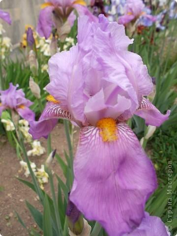 Очень люблю цветы.Разные.Хочу поделиться с вами  красотой ирисов.Приглашаю вас в свой сад. фото 8